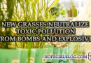 New grasses neutralize toxic pollution from bombs and explosives