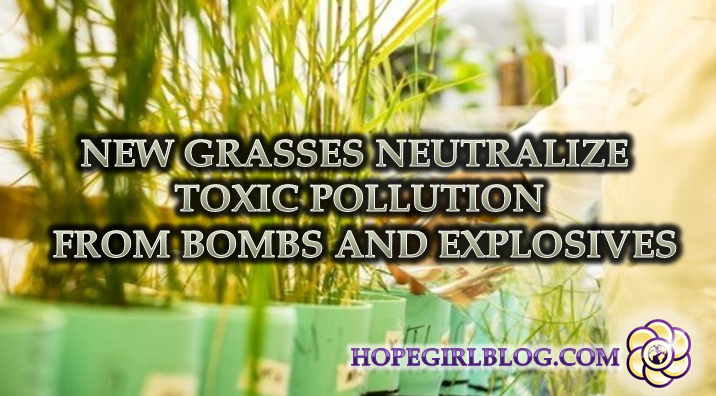 new-grasses-neutralize-toxic-pollution-from-bombs