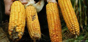 corn_gmo_735_350-300x143 corn_Gmo_735_350